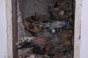 Verstopfung<br />Tote Vögel in benutzten Schornsteinen